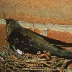 Springtime Intruders: The Chimney Swifts