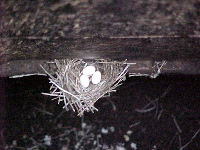 Chimney Swift Nest Ask The Chimney Sweep